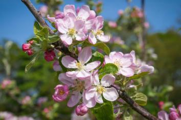 Apple blossom makes early show in the Orchard County of Armagh